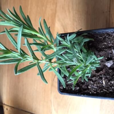 Plant  -  Lavender Elegance Blue
