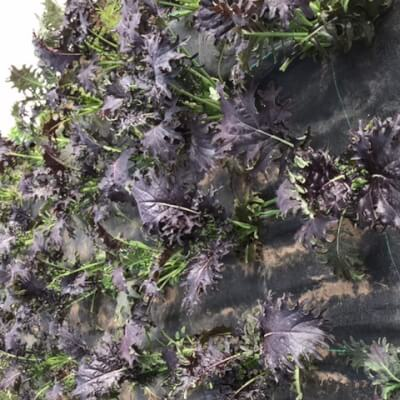 Mixed Kale