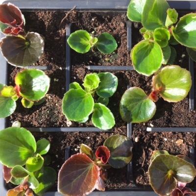 Begonias Bedding Plants