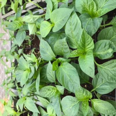 Plants  -  Sweet Pepper Bell