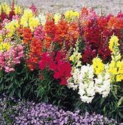Plants  -  Snapdragons Sonnet Mix