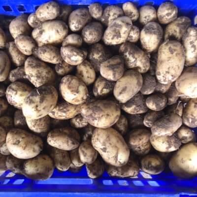 Potatoes - Small Charlotte Salad Potatoes
