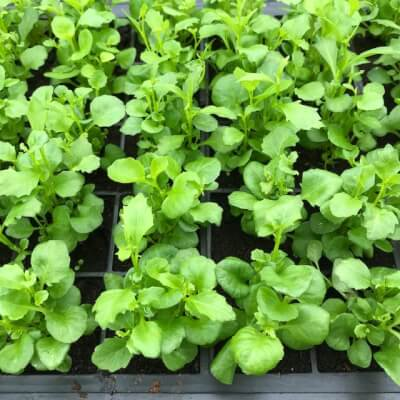 Plants - Lobelia Upright Mixed Colours