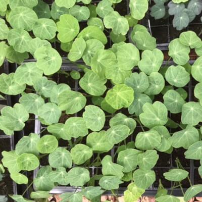 Plants- Nasturtiums