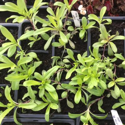 Sweet William Plants