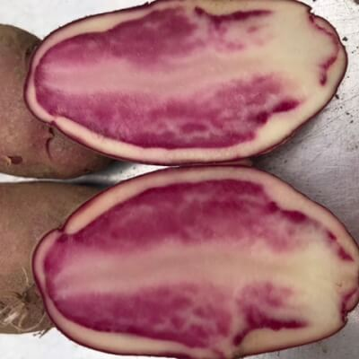 Potato- Highland Burgundy