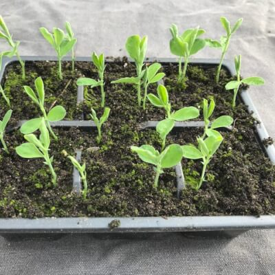 Sweet Peas - Mixed Colour Scented Minimum 12 Seedlings Per Tray