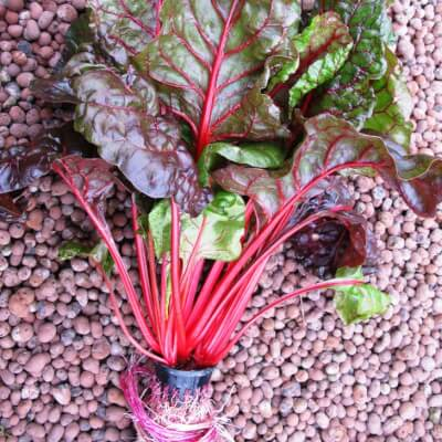 Rainbow Chard Bunch