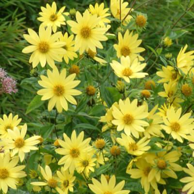 Helianthus 'Lemon Queen' - Perennial Sunflower