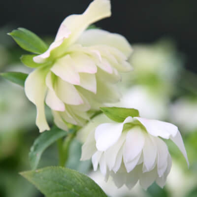 Helleborus White Double
