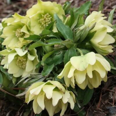 Helleborus 'Double Yellow Spotted'
