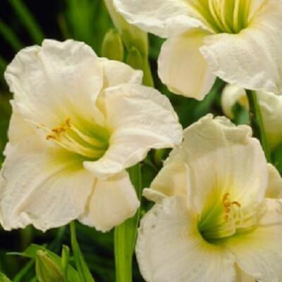 Hemerocallis 'Gentle Shepherd' -  Daylily