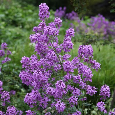 Hesperis Matronalis Purpurea Purple Hesperis