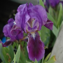 Iris Blue Pygmy