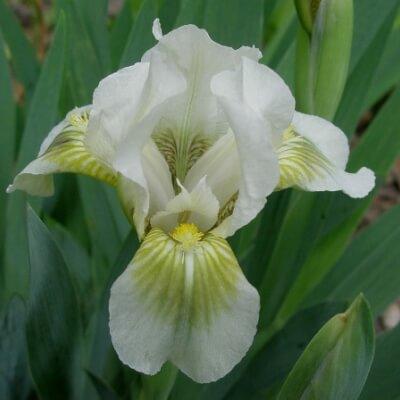 Iris Green Spot