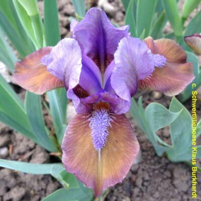 Iris Hocus Pocus
