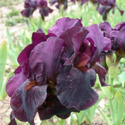 Iris Langport Wren
