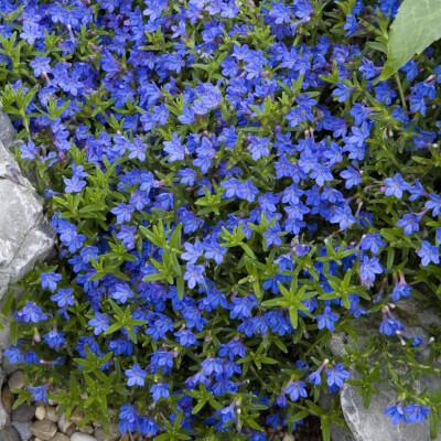 Lithodora -Heavenly Blue