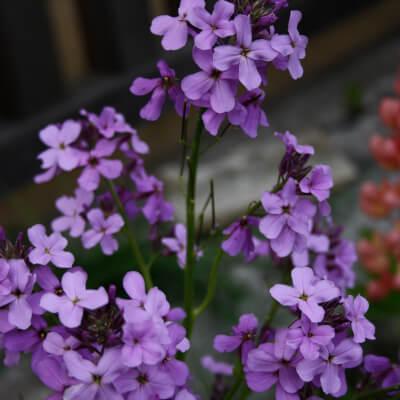 Matthiola Incana Purple