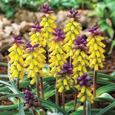 Muscari Golden Fragrance