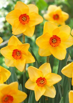 Narcissus 'Altruist' - New