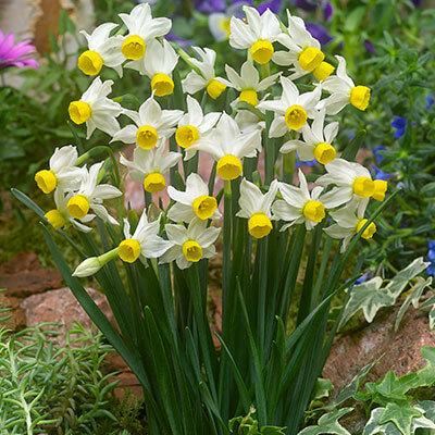 Narcissus Canaliculatus - Miniature Daffodil