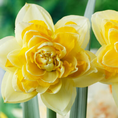 Narcissus 'Great Leap' - Double Daffodil