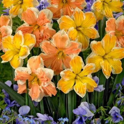 Narcissus - 'Rainbow Of Colours'