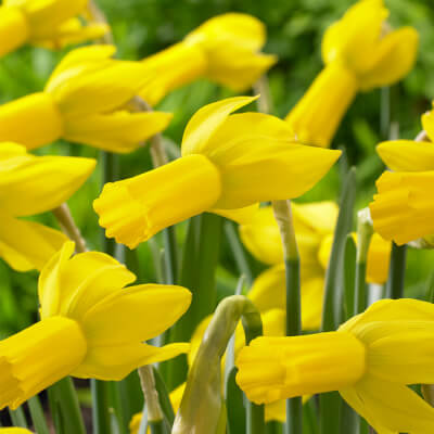 Narcissus 'Rapture'- Rhs -Agm