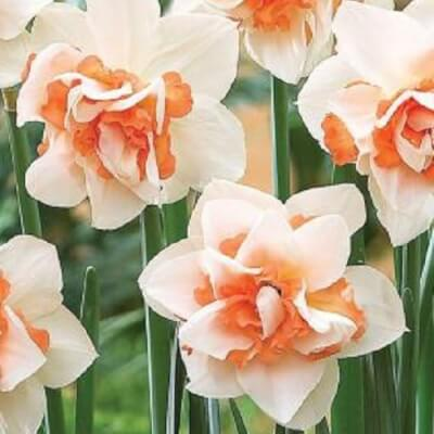 Narcissus 'Replete' - Double Pink Daffodil