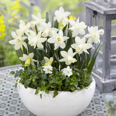 Narcissus 'Snow Baby' - Miniature White Daffodil