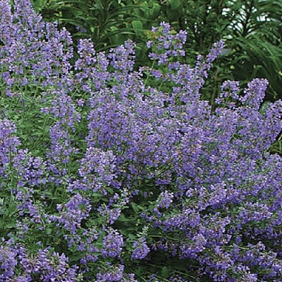 Nepeta 'Walker's Low' - Catmint