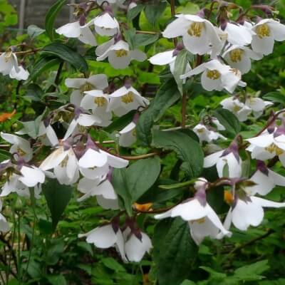 Philadelphus Delavayii - Mock Orange