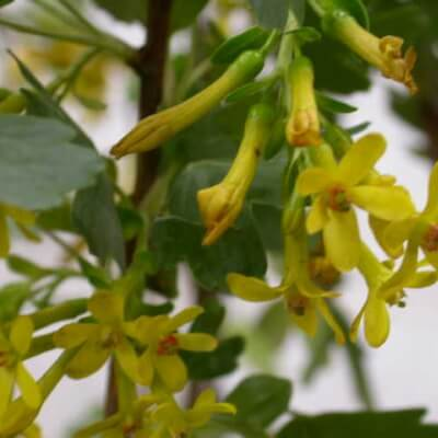 Ribes Odoratum - Buffalo Currant, Golden Currant
