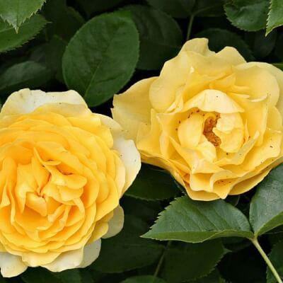 Rose 'Absolutely Fabulous' -  Fragrant Bush Rose