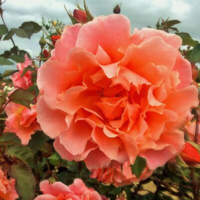 Rose 'Alibaba' - Fragrant Climbing Rose