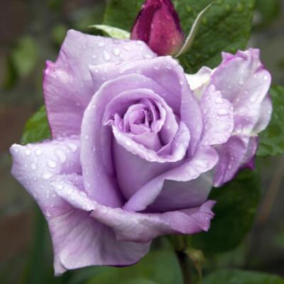 Rose ' Blue Moon' - Fragrant Climber