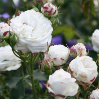 Rose 'Boule De Neige' - Fragrant Bush Rose