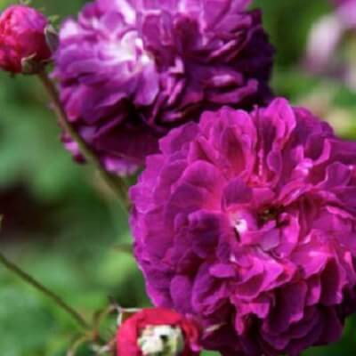 Rose 'Cardinal De Richelieu' -  Fragrant Bush Rose
