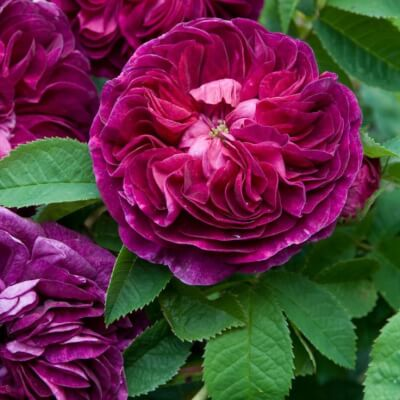 Rose 'Charles De Mills' - Fragrant Shrub Rose