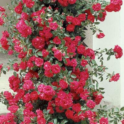 Rose 'Danse De Feu' - Fragrant Climber