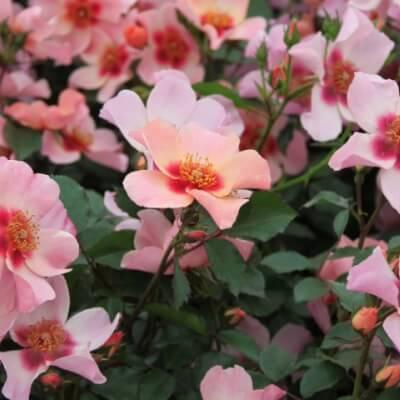 Rose 'For Your Eyes Only' -Fragrant Bush Rose