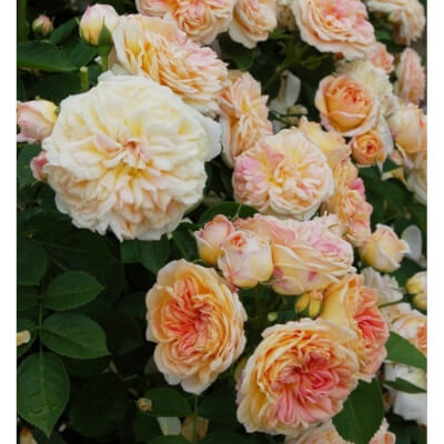 Rose 'Alchymist' - Fragrant Climber