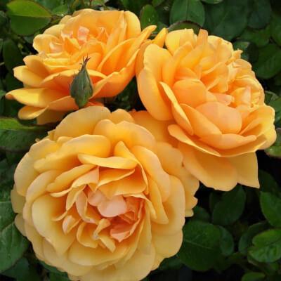 Rose 'Golden Beauty' - Fragrant Bush Rose