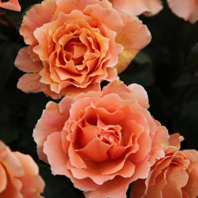 Rose 'Just Joey'  - Fragrant Bush Rose
