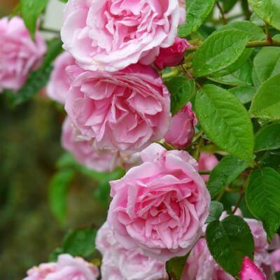 Rose 'Kathleen Harrop' - Fragrant Thornless Climber