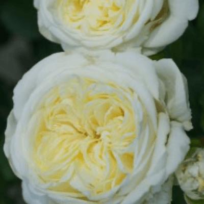 Rose  Kronprinsesse Mary