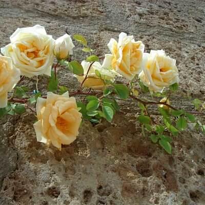 Rose 'Lady Hillingdon' - Fragrant Climber