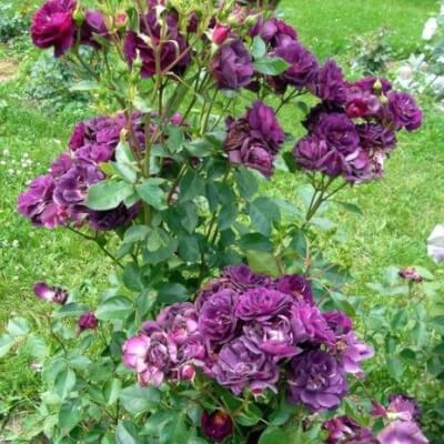 Rose 'Midnight Blue' - Fragrant Bush Rose