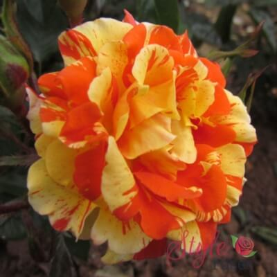 Rose 'Oranges And Lemons'
